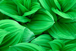 False Hellebore leaves, Lily family, Pisgah National Forest, North Carolina, Spring