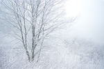 Fog-shrouded tree and underbrush coated with rime and hoarfrost, Pisgah National Forest, NC, winter