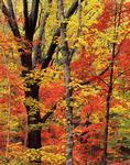 Sugar Maple and Sourwood (Oyxdendrum arboreum), Sumter NF, Autumn