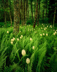 Fly Poison & Ferns in Birch Forest