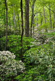 Mountain Laurel in the Davidson River Valley, Pisgah National Forest, NC, late spring