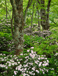 Mountain laurel (Kalmia latifolia) blooming along the Blue Ridge Parkway, Pisgah National Forest, NC, Spring