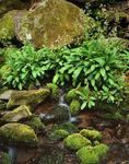 Brook Lettuce (Saxifraga micranthidifolia) along Steep Branch, Great Smoky Mountains National Park, TN, spring
