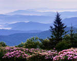 Catawba Rhododendron on Round Bald at sunrise, Roan Highlands area, Tennessee-North Carolina, Summer