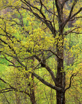 Oaks in Spring foliage, Great Smoky Mountains National Park, TN
