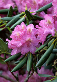 Catawba Rhododendron (Rhododendron catawbiense), Craggy Gardens, Blue Ridge Parkway, N Carolina, June