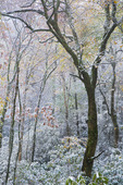 Autumn foliage covered in light snow, Pisgah National Forest, NC