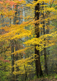 Maples in autumn foliage, Great Smoky Mountains National Park, TN