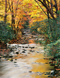 Wind-blown autumn leaves in bakcground trees illustrate cool breeze along Davidson River, North Carolina