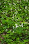 Spring wildflowers, including Large-flowered Trillium (Trillium grandiflorum) and Foamflower (Tiarella cordifolia), Pisgah National Forest, NC
