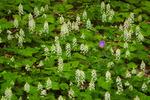 Spring wildflowers including Foamflower (Tiarella cordifolia) and Wild Geranium (Geranium maculatum), Pisgah National Forest, NC