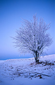 W00381:  Solitary Tree at dusk, Max Patch Mountain, Pisgah National Forest, NC, winter