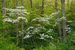 Flowering Dogwood (Cornus florida), Pisgah National Forest, NC, Spring
