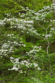 Flowering Dogwood (Cornus florida), Pisgah National Forest, NC, Spring