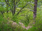 Pinkshell azalea (Rhododendron vaseyi), Pilot Mountain, Pisgah National Forest, NC, Spring