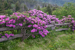 Catawba Rhododendron line the fence at Carver's Gap, Roan Highlands, NC-TN, June
