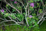Catawba Rhododendron interlaced with blackberries, Roan Highlands, NC-TN, June
