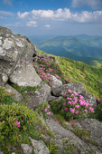 Catawba Rhododendron on the Roan Mountain massif at Grassy Ridge, Roan Highlands, NC-TN, June