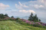 Catawba Rhododendron on Grassy Ridge of the Roan Mountain massif, Roan Highlands, NC-TN, June