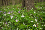 Large-flowered Trillium, Phlox and White Fringed Phacelia, Great Smoky Mountains National Park, TN, Spring