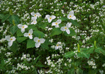 Large-flowered Trillium and White Fringed Phacelia, Great Smoky Mountains National Park, TN, Spring