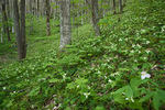 Woodland meadow of Trillium erectum and solitary Trillium grandiflorum, Cherokee National Forest, TN, Spring