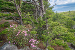 Wind-shaped Table Mountain Pines (Pinus pungens) grow in the thin soils of rocky summits and provide shelter to Carolina Rhododendron, Pisgah National Forest, NC, May