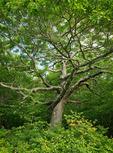 Northern Red Oak and Flame Azalea, Hooper Bald, Nantahala National Forest, NC, summer
