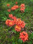 Flame azalea, (Rhododendron calendulaceum), Hooper Bald, Nantahala National Forest, NC, summer