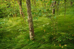 Northern Hardwood Forest underlain by natives grasses, Hooper Bald, Nantahala National Forest, NC