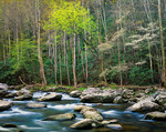 Backlit Trees along Middle Prong of the Little River, Great Smoky Mountains National Park, Tennessee, USA, Spring