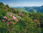 Catawba Rhododendron, Black Balsam area, Pisgah NF, NC, June