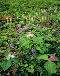 Large-flowered Trillium, Wild Geranium and Foamflower, Appalachian Ranger District, Pisgah National Forest, NC, Spring