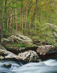 Dogwoods on Middle Prong of the Little River, Great Smoky Mountains National Park, Tennessee, USA, Spring