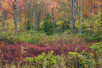 Hardwood Forest in Camp 70 area, Canaan Valley National Wildlife Refuge, West Virginia, Autumn