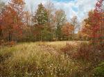 Cotton grass and wetlands in Canaan Valley National Wildlife Refuge, West Virginia, Autumn