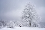 Buckeye tree in falling snow at the edge of a mountain meadow, Bald Mountains, North Carolina-Tennessee