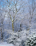 Snow-covered trees, Bald Mountains, TN, winter