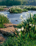 Rocky Shoal Spider Lilies on the Catawba River, Landsford Canal State Park, SC, spring