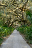 Grand Avenue passes through a maritime forest of Live oaks and Saw palmetto, Cumberland Island National Seashore, GA