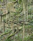 Spanish moss and Live Oaks, Cumberland Island National Seashore, GA