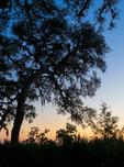 Live Oaks draped with Spanish Moss, Cumberland Island National Seashore, GA