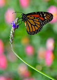 A butterfly perches on a flower at the Desert Botanical Gardens in Phoenix, Arizona.