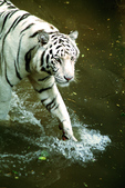 White Tiger (captive)