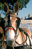Carriage Mule in French Quarter