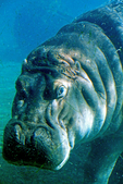 Hippopotamus under water