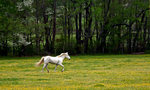 White horse running in field of yellow wildflowers