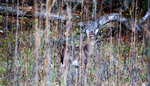 Camouflaged young white tailed buck behind weeds