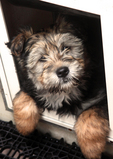 Australian shepherd mix puppy in doggie door