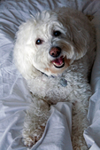 Smiling senior miniature poodle in human bed